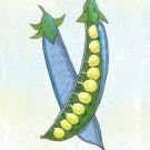 Blue-podded-blauwschokkers-garden-pea.full