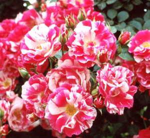 Rose, Climber 'Berries 'N' Cream'™