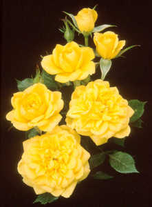Rose, Miniature 'Lemon Drop'