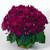 Annuals_senecio_hybridus_jester_r_pure_carmine-1.small