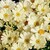 Cineraria: Pericallis x hybrida 'Jester® Pure Light Yellow'