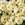 Cineraria: Pericallis x hybrida 'Jester® Pure Light Yellow'