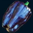 Purple-beauty-pepper.full