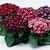 Annuals_senecio_hybridus_jester_r_royal_bicolor_shades-1.small