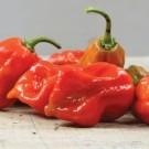 Caribbean-red-habanero-pepper.full