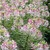 Cleome: Cleome hassleriana 'Sparkler Blush'