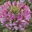 Annuals_cleome_hassleriana_sparkler_tm_lavender-1.thumb