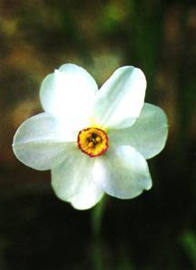 Daffodil, Poeticus Actaea