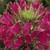 Cleome: Cleome hassleriana 'Sparkler™ Rose'