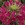 Annuals_cleome_hassleriana_sparkler_tm_rose-1.sprite