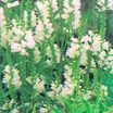 Obedient Plant, 'Summer Snow'