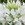 Cleome: Cleome hassleriana 'Sparkler™ White'