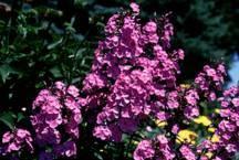 Phlox, Meadow 'Rosalinde'