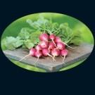 Scarlet-turnip-wht-tip.full