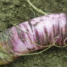 Violet-de-gournay-radish.full