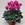 Cyclamen: Cyclamen Persicum, 'Laser™ Lilac'