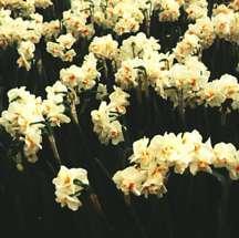 Daffodil, Double 'Sir Winston Churchill'