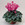 Cyclamen: Cyclamen Persicum, 'Laser™ Orchid'