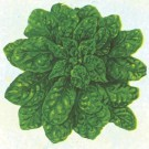 Bloomsdale-long-standing-spinach.full