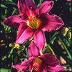 Daylilies_hemerocallis_lady_eva-1.thumb