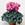 Cyclamen: Cyclamen Persicum, 'Laser™ Pink'