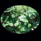 Red-malabar-spinach.full