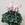 Cyclamen: Cyclamen Persicum, 'Laser™ Pink Flame'