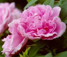 Rose, Rugosa 'Therese Bugnet' (1950)