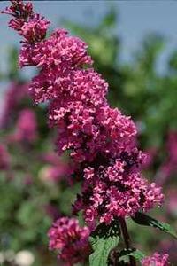 Butterfly Bush, Petite Plum Dwarf