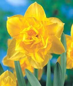 Daffodil, Double 'Meeting'