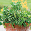 Peas_pisum_sativum_peas_in_a_pot.thumb