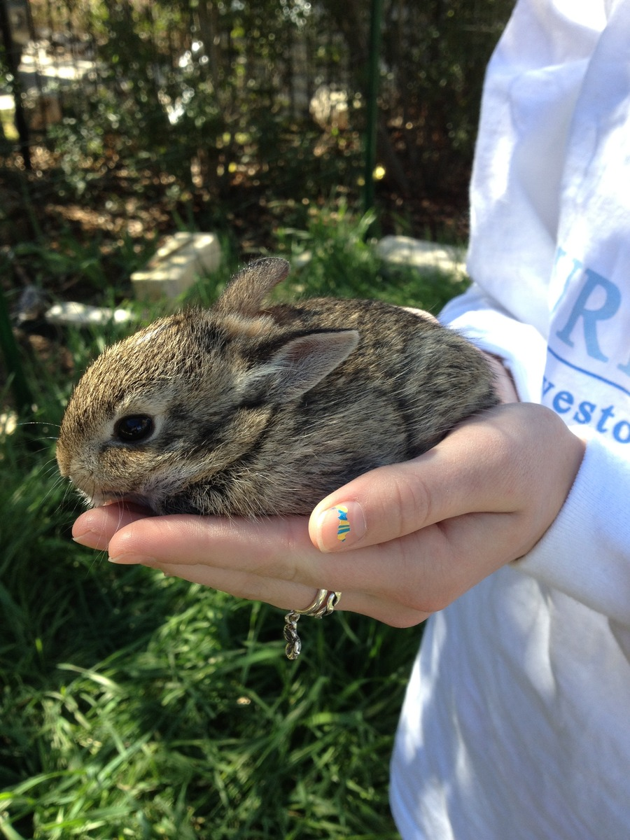 Baby_rabbit.full