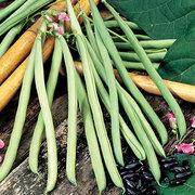 Beans_phaseolus_vulgaris_cobra.full