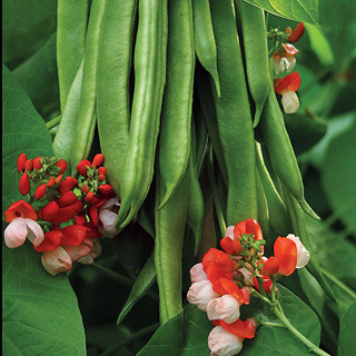Beans_phaseolus_vulgaris_tenderstar.full