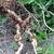 Root_knot_nematodes.small