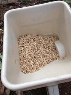 Elbon Rye Seed