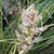 Grass_bloom.small