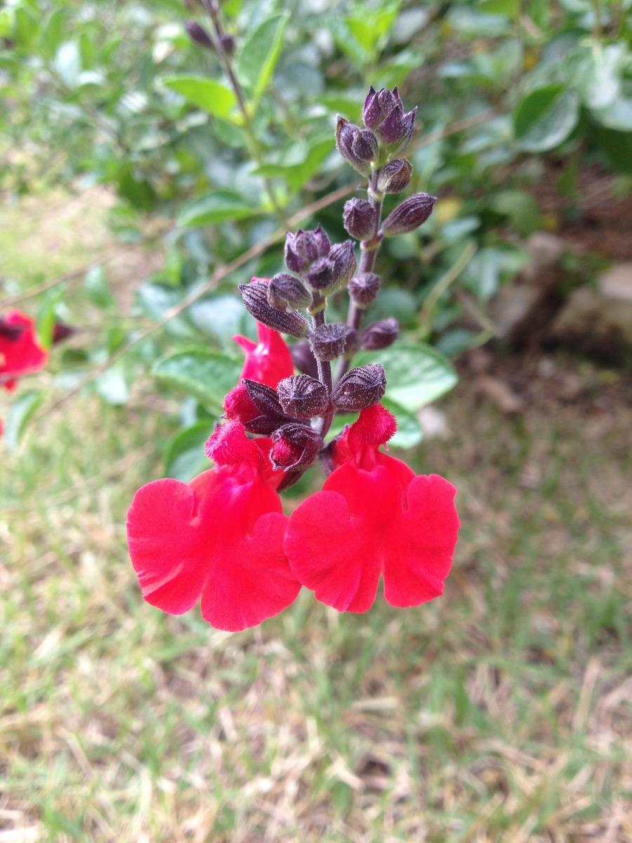 Salvia.full