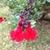 Salvia.small