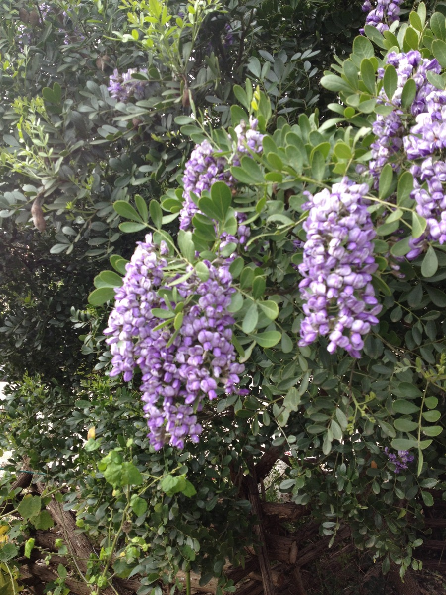 Texas_mountain_laurel.full