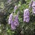 Texas_mountain_laurel.small
