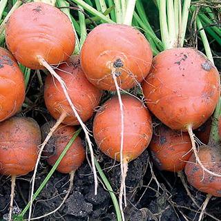 Carrots_daucus_carota_atlas.full