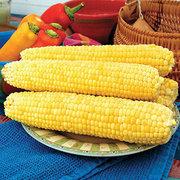 Corn_zea_mays_var_rugosa_yellow_mirai_148y.full