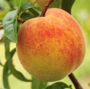 Peach Tree, Early Elberta Dwarf