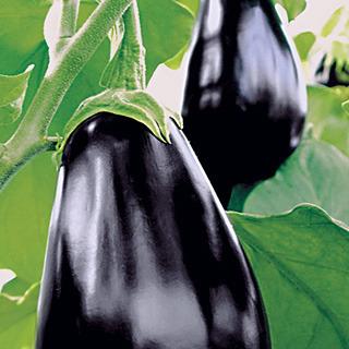 Eggplant_solanum_melongena_amadeo.full