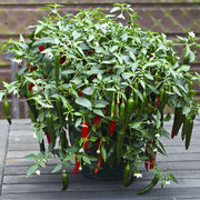 Peppers_capsicum_annuum_cayennetta_hybrid.full
