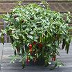 Peppers_capsicum_annuum_cayennetta_hybrid.thumb