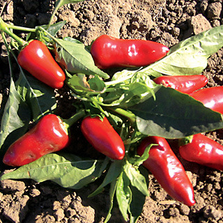 Peppers_capsicum_annuum_fresno.full