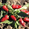 Peppers_capsicum_annuum_fresno.thumb