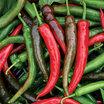 Peppers_capsicum_annuum_impala_hybrid.thumb